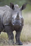 Young White Rhinoceros (Ceratotherium Simum)  Kruger National Park  South Africa  Africa
