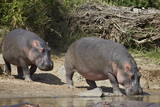 Two Hippopotamus (Hippopotamus Amphibius) Returning to the Water