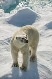 Adult Polar Bear (Ursus Maritimus)
