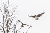 Osprey (Pandion Haliaetus) Along the Madison River