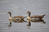 Egyptian Goose (Alopochen Aegyptiacus) Pair  Serengeti National Park  Tanzania  East Africa  Africa
