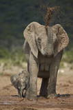 African Elephant (Loxodonta Africana) Mother Showering