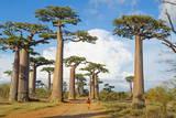 Baobab Trees  Morondava  Madagascar  Africa