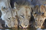 Lion (Panthera Leo) and Two Cubs Drinking