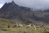 Llamas and Herder  Andes  Peru  South America
