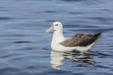 White-Capped Albatross  Thalassarche Steadi  in Calm Seas Off Kaikoura  South Island  New Zealand