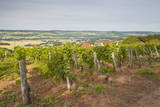 Vineyards in Tharoiseau Near to Vezelay  Yonne  Burgundy  France  Europe