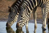 Two Common Zebra (Plains Zebra) (Burchell's Zebra) (Equus Burchelli) Drinking