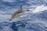 Long-Beaked Common Dolphin (Delphinus Capensis) Leaping Near White Island