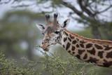 Masai Giraffe (Giraffa Camelopardalis Tippelskirchi) Eating