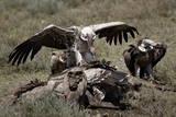 Ruppell's Griffon Vulture (Gyps Rueppellii) Atop a Zebra Carcass