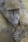 Chacma Baboon (Papio Ursinus) Licking a Wound