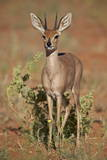 Steenbok (Raphicerus Campestris) Buck