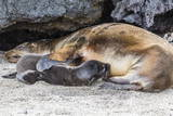 Galapagos Sea Lion (Zalophus Wollebaeki) Pup Nursing in Urbina Bay