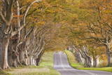The Beech Avenue at Kingston Lacy in Full Autumn Colour  Dorset  England  United Kingdom  Europe