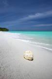 Shell on Tropical Beach  Maldives  Indian Ocean  Asia
