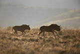 Two Young Black Wildebeest (White-Tailed Gnu) (Connochaetes Gnou) Running