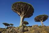 Dragon Tree (Dracaena Cinnabari)  Socotra Island  Yemen  Middle East