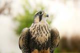 Aplomado Falcon (Falco Femoralis)  Falconry  Argentina  South America