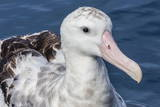 Wandering Albatross  Diomedea Exulans  in Calm Seas Off Kaikoura  South Island  New Zealand