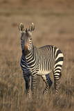 Cape Mountain Zebra (Equus Zebra Zebra) Stallion