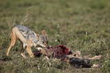 Black-Backed Jackal (Silver-Backed Jackal) (Canis Mesomelas) at a Blue Wildebeest Calf Kill