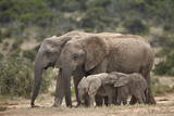 African Elephant (Loxodonta Africana) Mothers and Babies