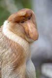 Dominant Male Proboscis Monkey (Nasalis Larvatus) Has a Pendulous Nose