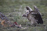 Ruppell's Griffon Vulture (Gyps Rueppellii) Approaches a Black-Backed Jackal