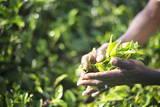 Hands of a Tea Picker Picking Tea in the Sri Lanka Central Highlands  Tea Country  Sri Lanka  Asia