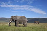 Two Bull African Elephant (Loxodonta Africana)