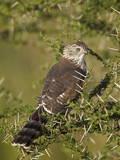 Immature Gabar Goshawk (Micronisus Gabar)  Serengeti National Park  Tanzania  East Africa  Africa