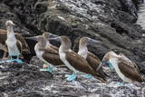 Blue-Footed Boobies (Sula Nebouxii) at Puerto Egas