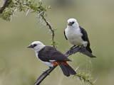 Two White-Headed Buffalo-Weaver (Dinemellia Dinemelli)