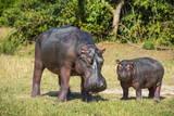 Hippopotamus (Hippopotamus Amphibius) Mother