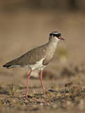 Crowned Plover (Crowned Lapwing) (Vanellus Coronatus)