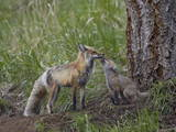 Red Fox (Vulpes Vulpes) (Vulpes Fulva) Kit Licking its Father's Mouth
