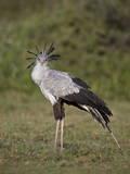 Secretarybird (Sagittarius Serpentarius)  Serengeti National Park  Tanzania  East Africa  Africa