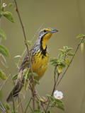 Yellow-Throated Longclaw (Macronyx Croceus)  Serengeti National Park  Tanzania  East Africa  Africa