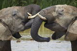 Two African Elephant (Loxodonta Africana) Playing