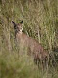 Caracal (Caracal Caracal) Calling Her Cub  Serengeti National Park  Tanzania  East Africa  Africa