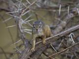 Tree Squirrel (Smiths Bush Squirrel) (Yellow-Footed Squirrel) (Paraxerus Cepapi)