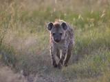 Spotted Hyena (Spotted Hyaena) (Crocuta Crocuta)