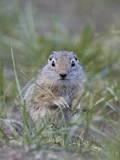 Young Uinta Ground Squirrel (Urocitellus Armatus)