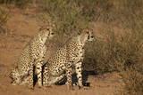 Two Cheetah (Acinonyx Jubatus)