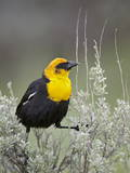 Male Yellow-Headed Blackbird (Xanthocephalus Xanthocephalus)