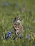 Uinta Ground Squirrel (Urocitellus Armatus) Among Mountain Bluebell (Mertensia Ciliata)