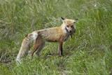 Red Fox (Vulpes Vulpes) (Vulpes Fulva)