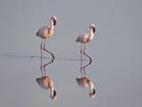 Two Lesser Flamingo (Phoeniconaias Minor)  Serengeti National Park  Tanzania  East Africa  Africa