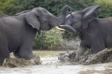 Two Teenaged Male African Elephant (Loxodonta Africana) Playing